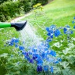 Stock Photo: Watering flowers on garden, with green watering can