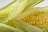 Fresh opened Corn Cob — Stock Photo