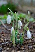 Snowdrop growing from the ground — Stock Photo