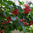Red rowan — Stock Photo #14117072