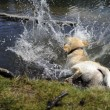 Labrador falling into the water — Stock Photo