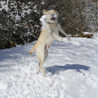 Stock Photo: Labrador playing with snowballs