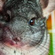 Stock Photo: Horizontal close up picture of chinchilla