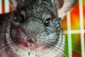 Horizontal close up picture of chinchilla — Stock Photo