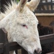White Donkey — Stock Photo
