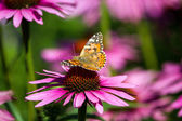 Butterfly on flower — Stock Photo
