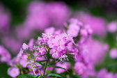 Phlox flowers — Stock Photo