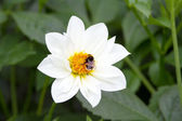 Bumble bee on dahlia — Stock Photo
