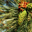 May bug on pine cone — 图库照片
