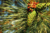 May bug on pine cone — Stock fotografie