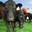 Stock Photo: Beef cattle on farm