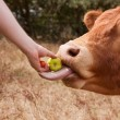 Bull taking hand fed apple to eat with tongue — Stock Photo