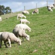 White Dorper herd of sheep lambs grazing hill — Stock Photo