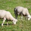 White Dorper sheep lambs grazing — Stock Photo
