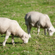 Stock Photo: White Dorper sheep lambs grazing