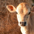 Stock Photo: Friesen dairy cow calf