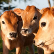 Stock Photo: Three cute farm cow calves