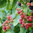 Blackberries — Stock Photo #12743853
