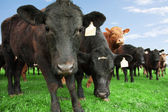 Beef cattle on farm — Stock Photo