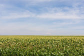 Farm corn field with blue cloudy sky — Stock Photo