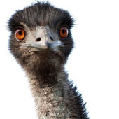 Emu closeup — Stock Photo