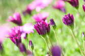 Purple and pink Daisies — Stock Photo