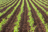 Rows of green vegetables — Stock Photo