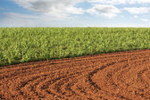 Plowed field and potato crop — Stock Photo