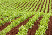 Farm rows of fresh pea plants — Stock Photo