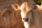 Friesen dairy cow calf — Stock Photo