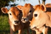 Three cute farm cow calves — Stock Photo