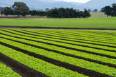 Rows of loose leaf lettuce plants in farm field — Stock Photo