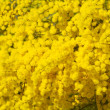Stock Photo: Golden wattle flowers
