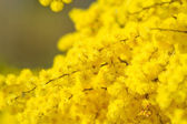 Golden wattle flowers — Stock Photo