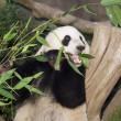 Panda Eats Lunch - Foto de Stock