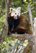 Red Panda — Stockfoto