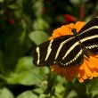 Zebra Longwing — Stock Photo