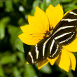 Stock Photo: ZebrLongwing Butterfly