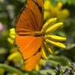 Julia Butterfly — Stock Photo #12426398