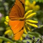 Julia Butterfly — Stock Photo