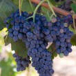 Grapes Clusters — Stock Photo