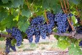Fresh Juicy Grapes on the Vine Food Produce Farmers Field Wine Maker — Stock Photo