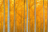 Saturated Yellow Leaves Fall Color Autumn Stand of Trees Deep Woods Cathedral — Stock Photo