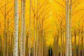 Autumn Stand of Trees Fall Color Leaves Changing Cathedral in the Woods — Stock Photo