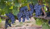 Grapes — Stock Photo