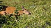 Deer Grazing — Stock Photo