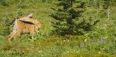 Cerf dans la prairie — Photo