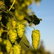 Hops Plant - Stock Photo
