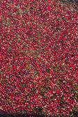 Cranberries in the Bog — Stock Photo