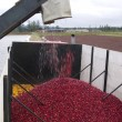 Cranberry Harvest — Stock Photo